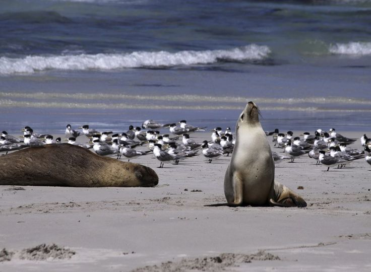 Kangaroo Island in Australië: kangoeroes, wallaby's, miereneters, koala's, zeeleeuwen en vogelbekdieren.