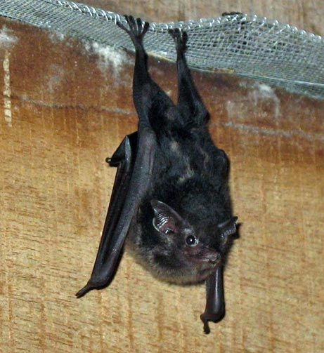 """Just like human children, bat pups may amuse themselves by saying the equivalent of """"goo goo ga ga.""""  Young greater sac-winged bats, like the one pictured here, make long strings of adultlike noises. The screeches, barks, and hisses have no social context, meaning the sounds are most likely babbling and not a form of communication."""