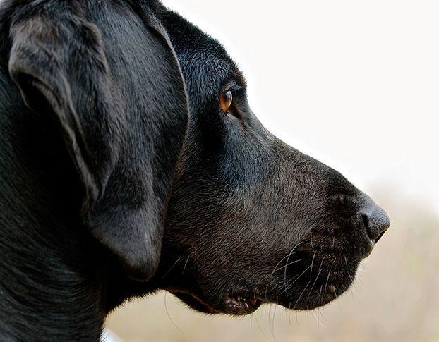 Sadie, a Plott hound from Thomson, Georgia.