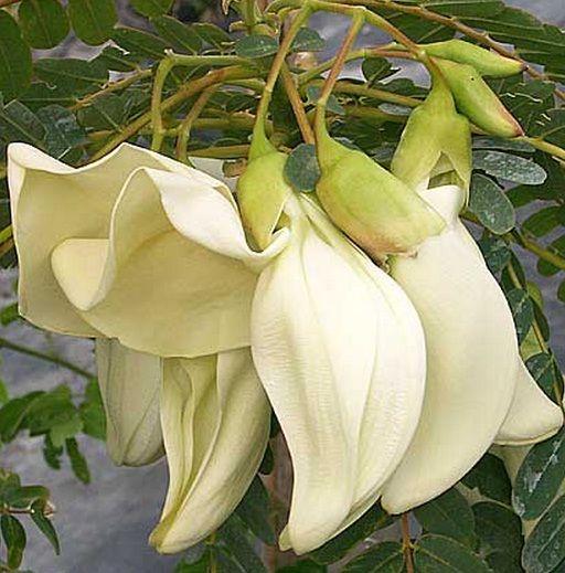Tanaman Turi Putih (White Agati)