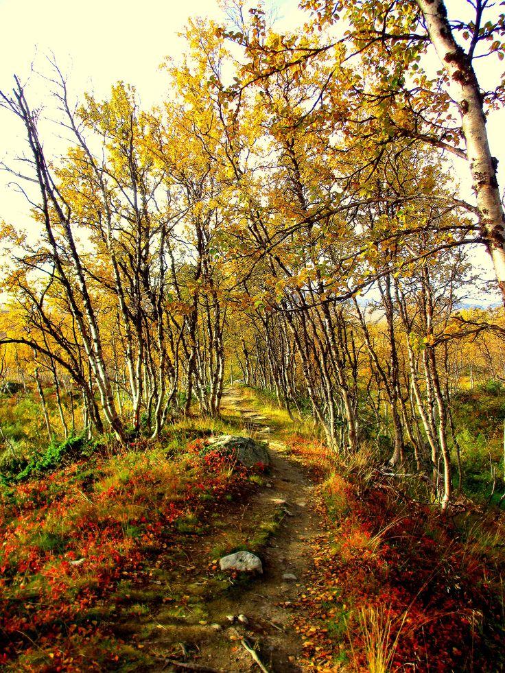 Enchanted birchforest, Kilpisjärvi