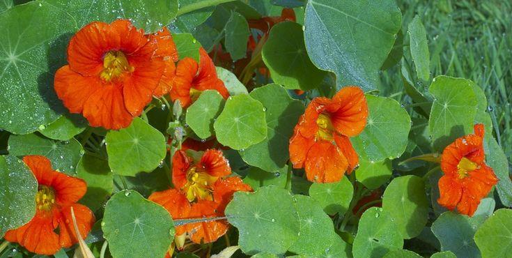 A capuchinha, é uma planta de fácil cultivo e que pode ser usada na horta como planta companheira e como poderoso auxiliar na luta biológica. Saiba como.