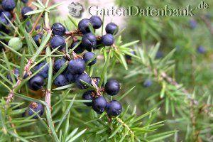Wacholder (Juniperus communis) Wacholderbeeren