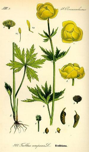 Lapland's flower Kullero - Trollius europaeus  Suomen kukkakauppiasliitto ry - Pohjois-Suomen piiri