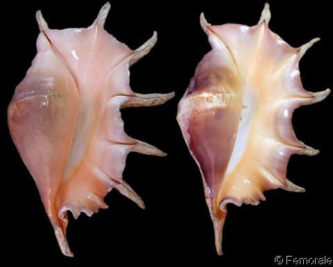 Lambis (Lambis) truncata truncata.  Giant/Truncate Spider Conch; Wild Vine Root	 Shell size 230 - 420 mm	 E Africa - Bay of Bengal - Philippines