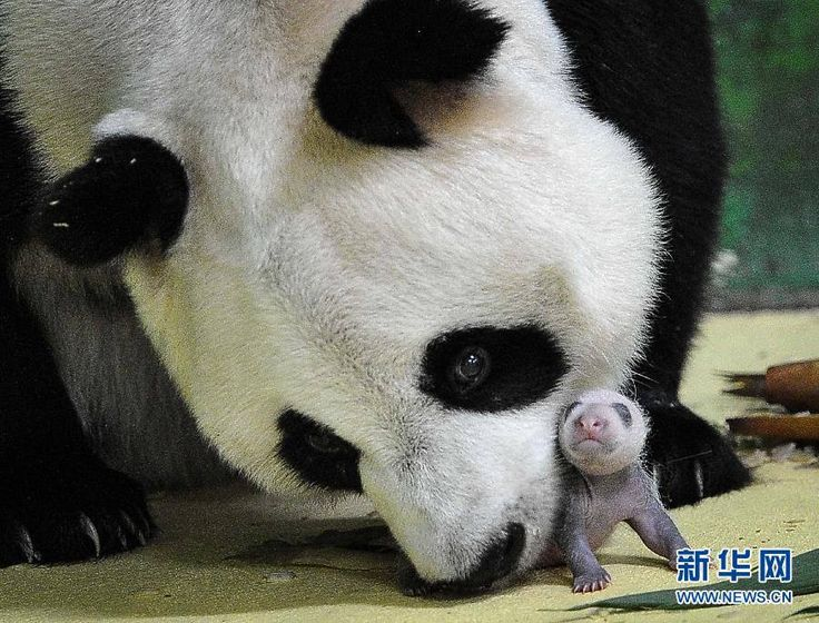 Ju Xiao with one of her triplets at the Chimelong Safari Park in Guangzhou, China ©iPanda