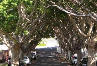 Chesterfield Parade Bronte and the avenue of Hill's Figs. Example of my new word: pleaching