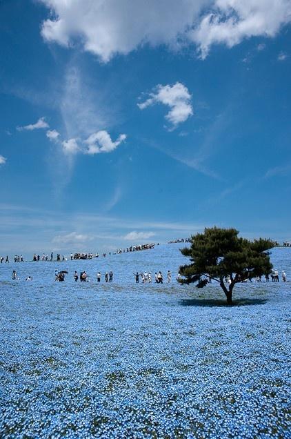 O que mais chama a atenção no parque japonês Hitachi Seaside são os milhares de Narcisos Azuis, que florescem com a chegada da primavera e, de tanto que colorem o chão, nos fazem perder de vista a linha que divide a terra do céu. Foto: Jay Turbo