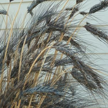 9 best images about grains on pinterest ornamental for Dark ornamental grasses