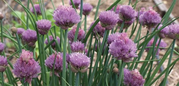 CHIVES COMMON   The Diggers Club