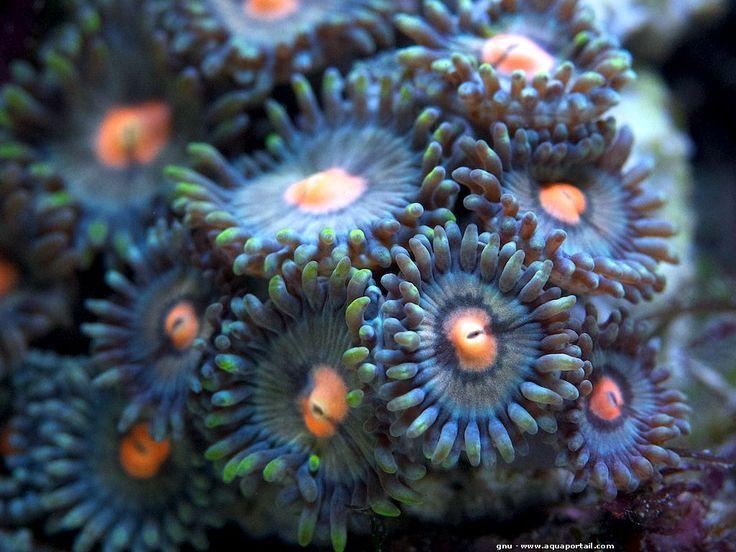 Zoanthus sociatus : Anémone de mer tapis de toute beauté