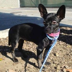 Isabel is a loving and playful 3-month old Chihuahua mix who is ready to listen, and has the ears to prove it! She needs a foster and a forever home!