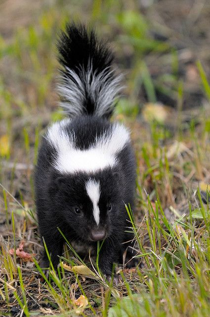 It's official, i want a pet skunk. Descented of course.