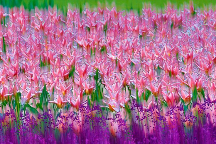tulip-flower-