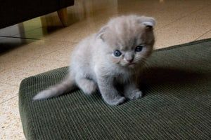 This list of the cutest kitten breeds is what the Internet is all about: cats, cats, kittens, and more cats! What is the cutest kind of kitten in existence? With these cat types, we have ranked cute kitten breeds in order to compose a master list of the cutest types of kittens on all of plane...