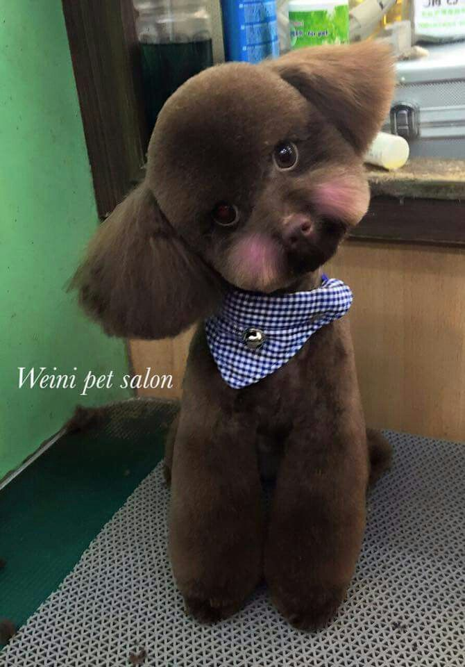 119 best grooming images on pinterest dog grooming dog grooming poodle solutioingenieria Images