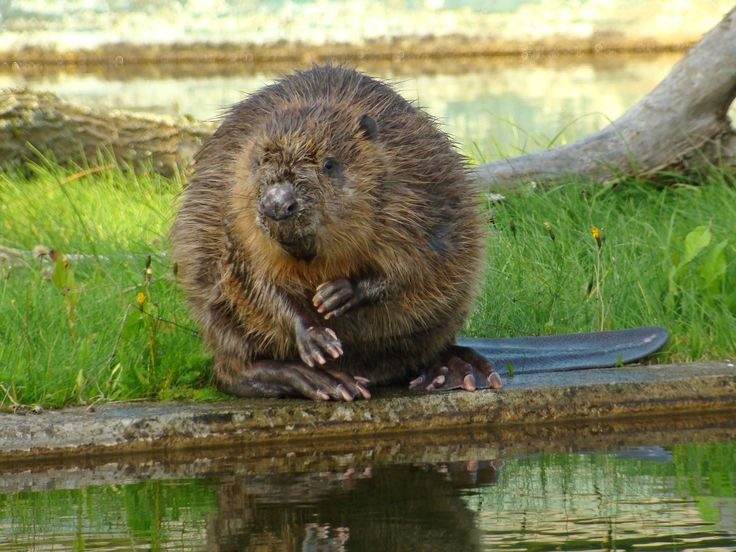All sizes | 8030/ Europeisk bäver / Eurasian Beaver (Castor fiber) | Flickr - Photo Sharing!
