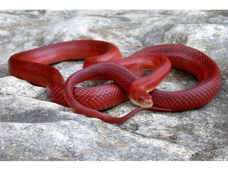 Bloodred Corn Snake.