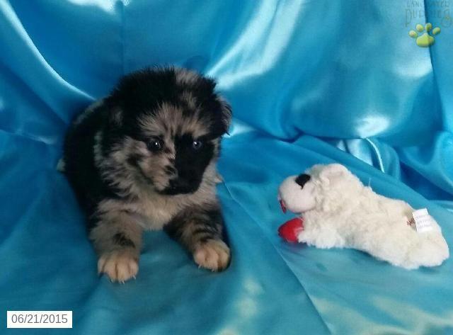 Pomsky Puppy for Sale in Iowa Pomsky puppies