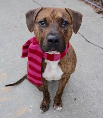 CARMINE - A1097796 - - Manhattan  Please Share:TO BE DESTROYED 12/5/16: ****PUBLIC ADOPTABLE**** A volunteer writes: Handsome Carmine came to us on Thanksgiving Day, brought by two policemen who had only good things to say about him. What a gorgeous dog, dressed in a shiny tiger brindle coat wrapping a well built body softened by attractive almond shaped eyes. Carmine was friendly then, accepting caresses and even a treat. He has remained the same, two days after our first