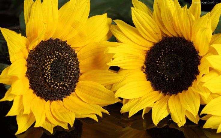 """""""W ogrodzie pięknym żółte słoneczniki…"""""""