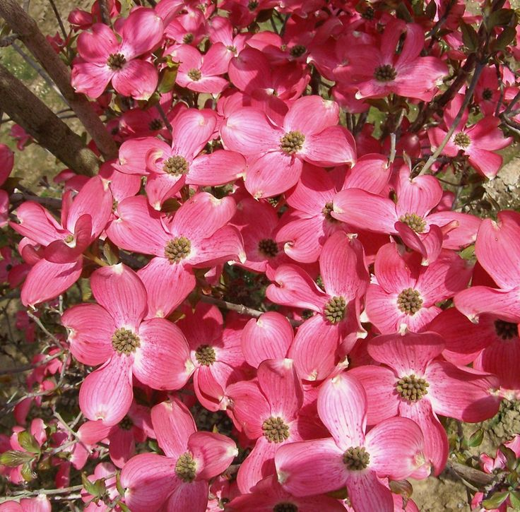 Cherokee chief dogwood 5 m a large flowering shrub with for Large flowering shrubs