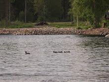 Telkkä linnut perhe suummainen ranta