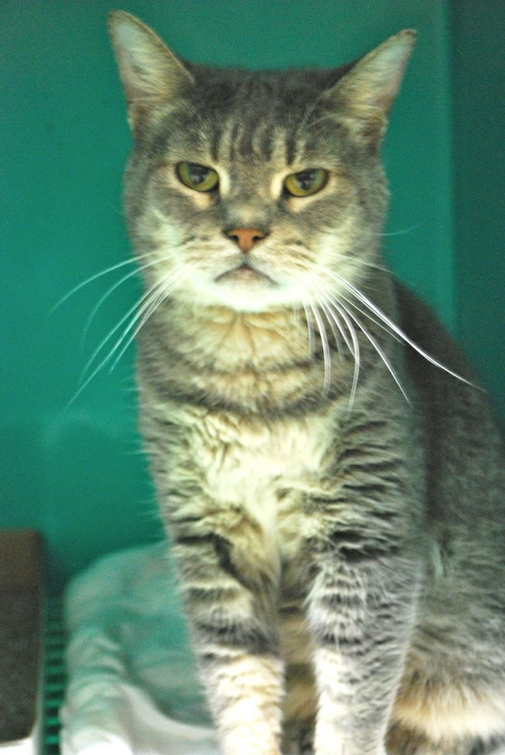 """Julie is known as """"grumpy cat"""" around the shelter because she always has a grumpy look on her face, and it's always hard to capture a good picture of her! However, her personality is quite the opposite! She loves attention and affection, and is..."""
