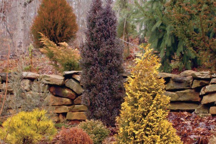 Die besten 25 conifer trees ideen auf pinterest pinie for Evergreen pflanzen