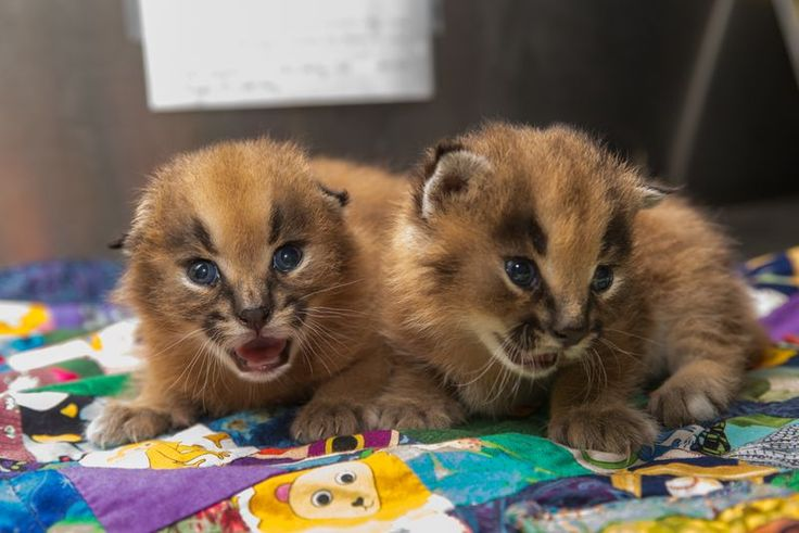 Oregon Zoo Introduces Newest Caracal Kittens