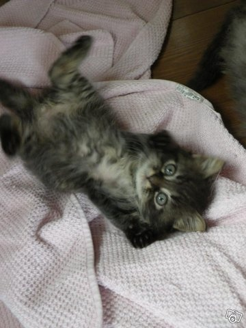 Långhåriga kattungar
