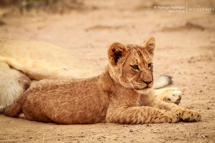 Are Zimbabwean lion cubs the cutest in all of Africa?