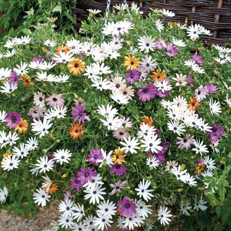 Annuali? 20/30 cm African daisy (Osteospermum fruticosum)