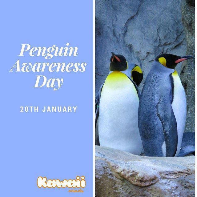 Did you know that today is Penguin Awareness Day? Here's a penguin fact for you ... All 17 species of penguins are found exclusively in the Southern Hemisphere. What's your favourite penguin fact? #penguin #penguinawaerenessday