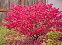 Image result for struik rode blaadjes herfst