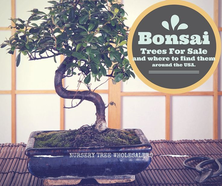 Where should you go to find bonsai trees for sale? This is the BEST article available that offers all the information you could possibly need to find a bonsai nursery. If you ever wanted to add a bonsai tree to your home décor, now is the time! See more awesome bonsai trees at http://www.nurserytreewholesalers.com/