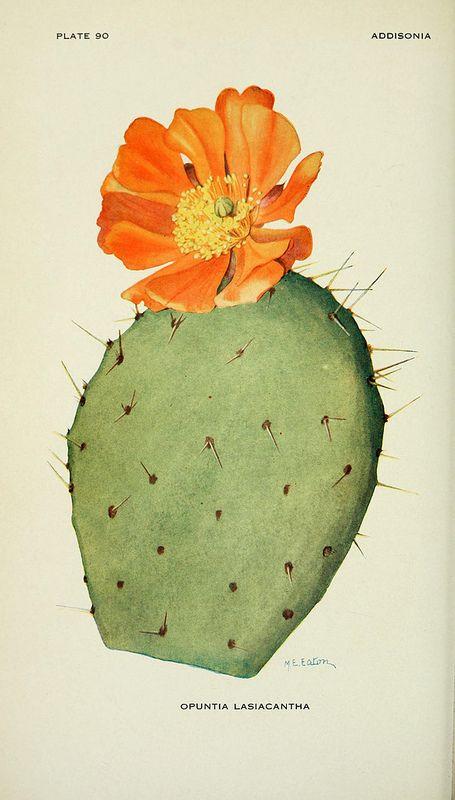 flowering cactus - opuntia lasiacantha                                                                                                                                                                                 More