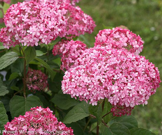 95 best images about hydrangeas on pinterest white for Tall flowering shrubs