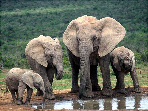 Los elefantes africanos son los mamíferos terrestres más grandes: pueden alcanzar los 4 metros de altura, frente a los 3,5 metros de los asiáticos. En algunos ejemplares sus colmillos han llegado a medir 3 metros de longitud y pesar 150 kg. Están hechos de marfil y son muy codiciados en el mercado.    Viven en manadas y son muy longevos: algunos de ellos pueden llegar a los 70 años. Su periodo de gestación es de casi dos años, y sus crías al nacer pueden llegar a pesar cerca de 100 kg.