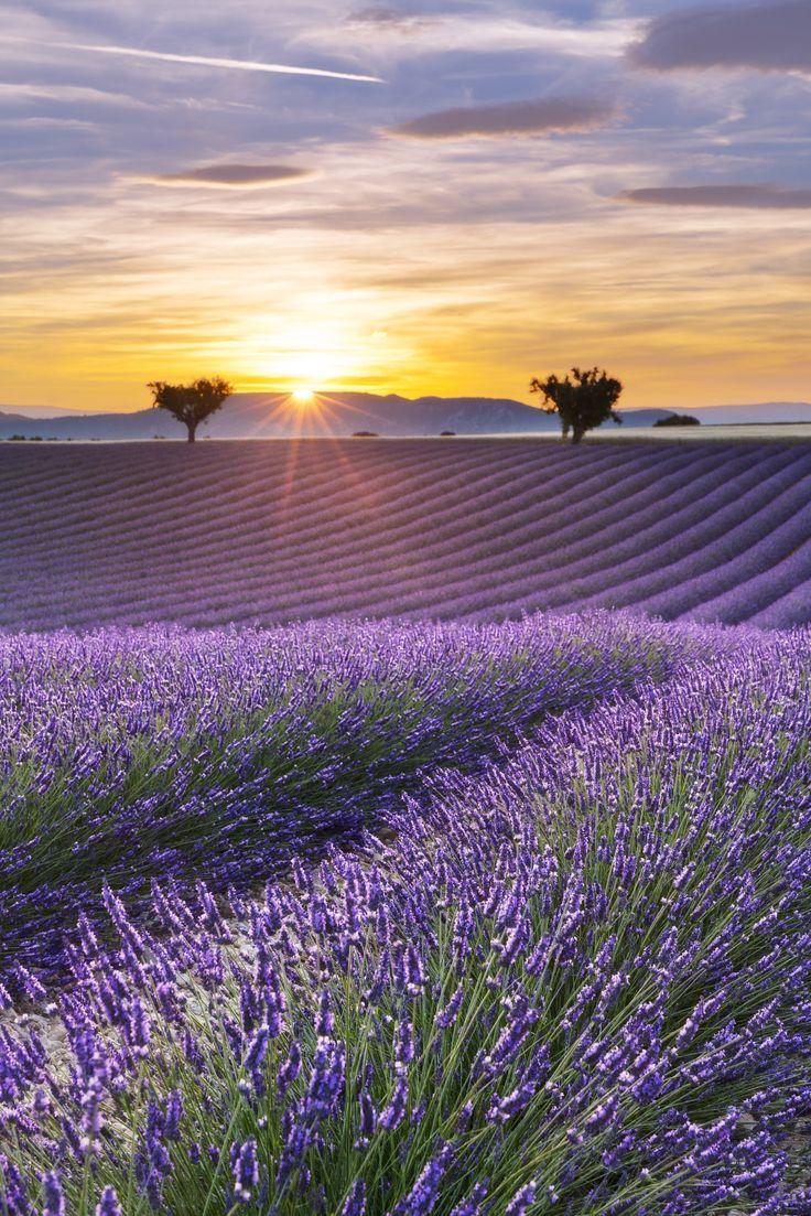 Un champ de lavande éclairé par les derniers rayons du soleil couchant, par Aurélien Laforêt