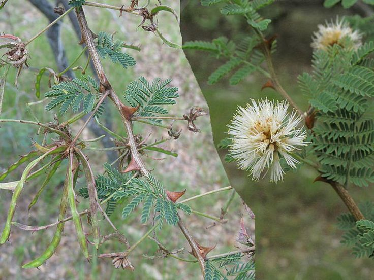 Mimosa aculeaticarpa is a straggling, thicket forming shrub, usually growing up to 3.3 feet (1 m) tall... #mimosa #plantopedia #FloweringPlant #flowers #FloweringPlants #plant #plants #flower #blooming #FlowersLover #FlowersLovers #FlowerGarden #WorldOfFlowers #WorldOfFloweringPlants #nature