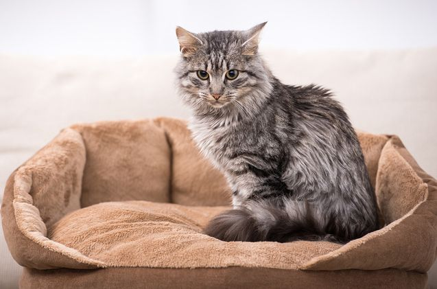 Domestic Medium Hair Cat Breed Information And Pictures Petguide Cat Breeds Breeds Cats