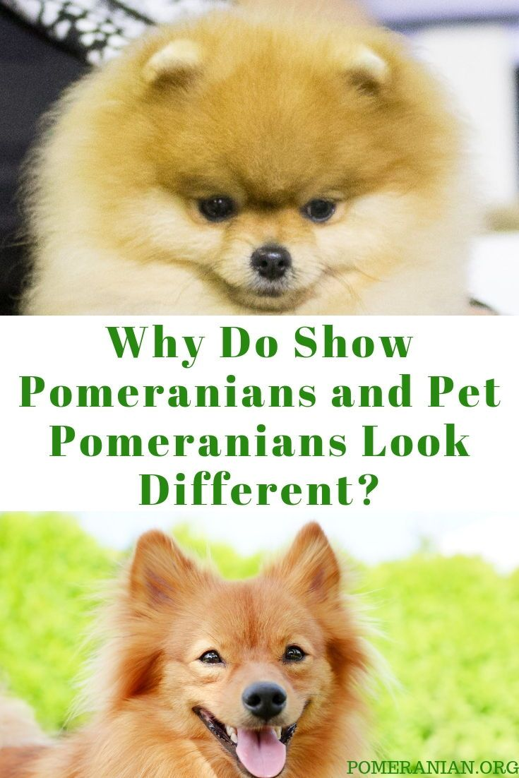 Differences Between The Pomeranian Show Dog And Pet Pomeranians Pomeranian Dog Pets Pom Dog