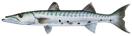 Fishin Guy - Fish Species - Barracuda