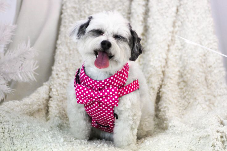 We kept our awesome new fuchsia pink polka dot fabric pretty quiet for awhile...but you've all gone crazy for it already and we can't keep it secret any longer! Zara thinks it's pretty funny.  Shop them all at -->> dharf.com/collections/harness  #dogharness #dog #dogs #xmas #christmas #pink