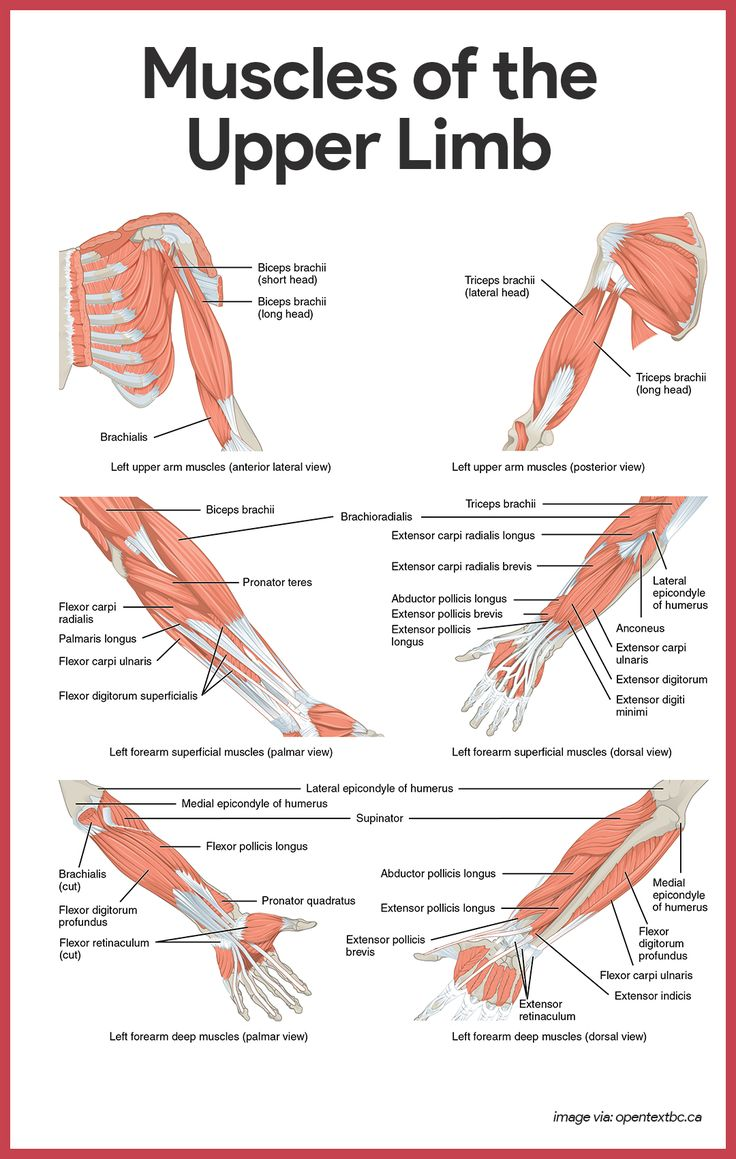 Muscular anatomy of the arm