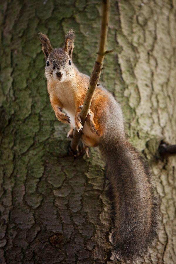 Squirrel by Juhani Viitanen on 500px