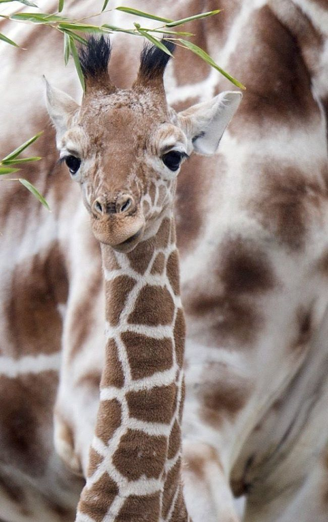 Joven jirafa en Alemania