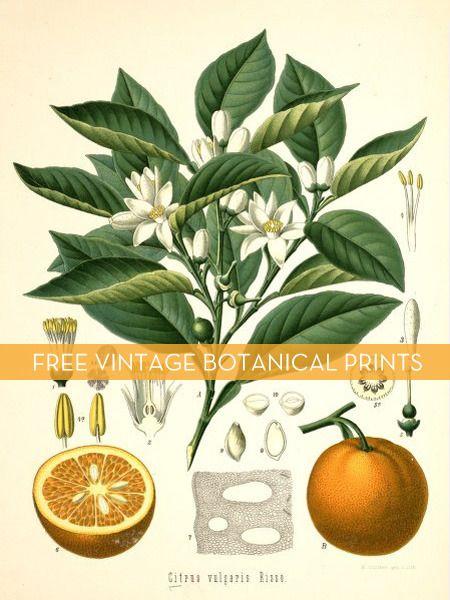 Free vintage botanical downloads #printables