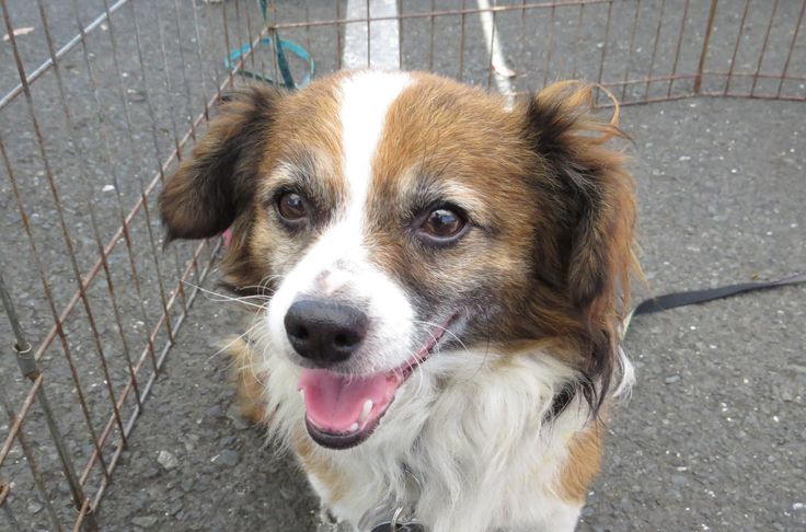 Pekalier dog for Adoption in Napa, CA. ADN698820 on